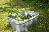 Une fois récoltées, elles doivent être conservées au frais dans l'humidité!